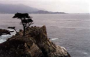 Marcus' Lone Cypress